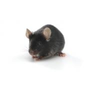 B6D2F1/J (JAX™ mice strain)