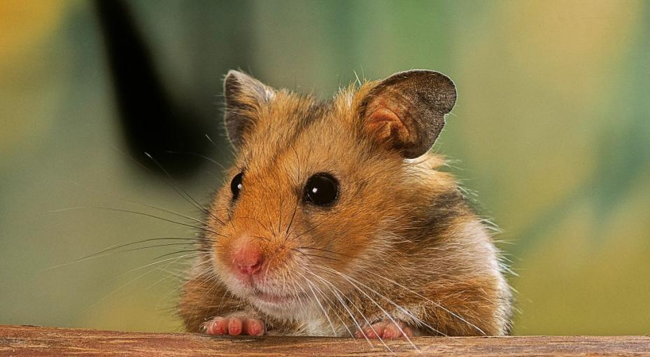 Syrian hamsters in COVID-19 research