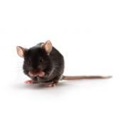 ApoE mouse (JAX™); B6.129P2-Apoetm1Unc/J