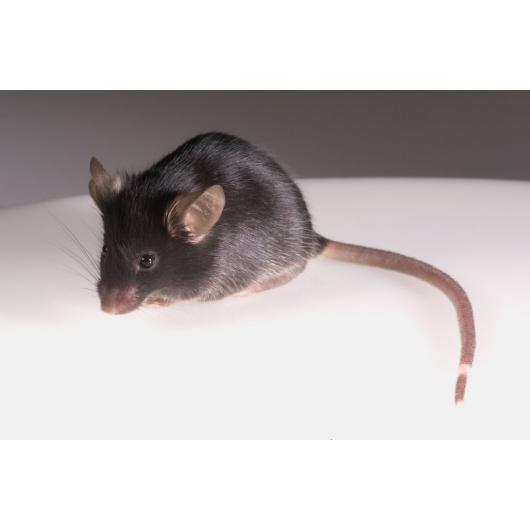 Immunodeficient BRGSF mouse model