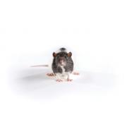 Zucker rat (lean), Crl:ZUC-Leprfa