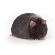 Db/db diabetic JAX Mouse