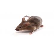 B6CBAF1/J (JAX™ mice strain)