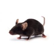 K18-hACE2 mouse (JAX™)