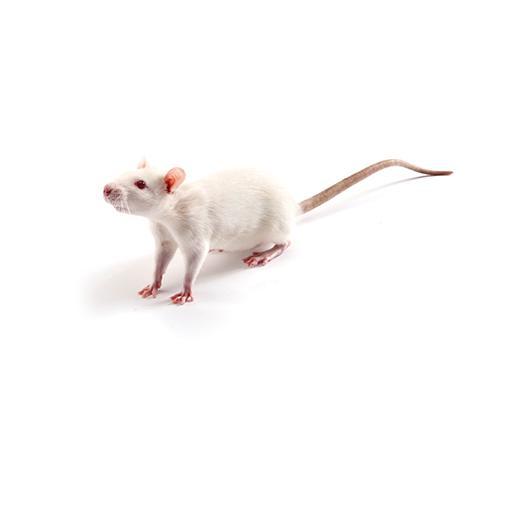 Dahl rat